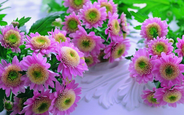 природа цветы Хризантема без смс